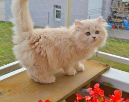 Foto 2 Reinrassige BKH/BLH Kitten