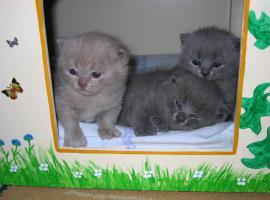 Foto 2 Reinrassige BKH-Kitten
