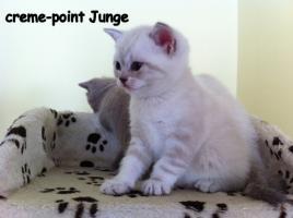 Foto 5 Reinrassige BKH Kitten