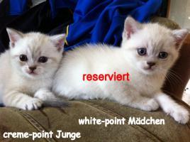 Foto 6 Reinrassige BKH Kitten