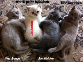 Foto 8 Reinrassige BKH Kitten