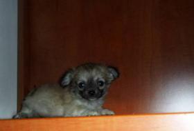 Foto 4 Reinrassige Chihuahua