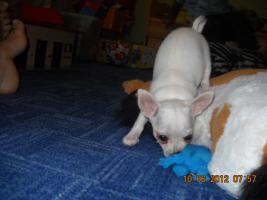 Foto 4 Reinrassige Chihuahua Weibchen
