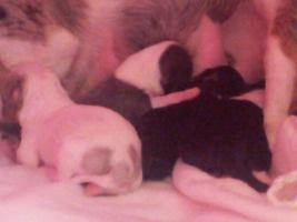 Reinrassige Chihuahuawelpen 2 Hündinnen 2 Rüden