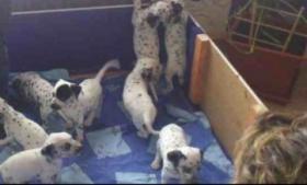 Foto 5 Reinrassige Dalmatiner Welpen zu verkaufen.