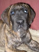 Foto 5 Reinrassige Deutsche Dogge