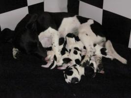 Foto 2 Reinrassige Jack Russell Terrier Welpen