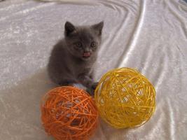 Reinrassige Kartäuser / Chartreux Kitten