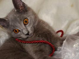 Foto 2 Reinrassige Kartäuser / Chartreux Kitten