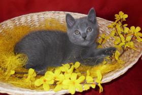 Foto 3 Reinrassige Kartäuser / Chartreux Kitten
