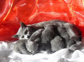 Foto 4 Reinrassige Kartäuser / Chartreux Kitten