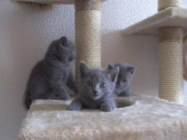Foto 5 Reinrassige Kartäuser / Chartreux Kitten