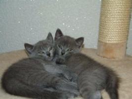 Foto 6 Reinrassige Kartäuser / Chartreux Kitten