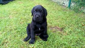 Reinrassige Labrador Welpen ohne papieren