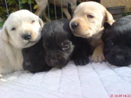 Foto 2 Reinrassige Labradorwelpen
