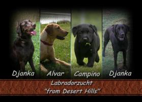 Reinrassige Labradorwelpen Arbeitslinie In Heinsberg Welpen Kinderlieb Reinrassig Stammbaum Tierlieb