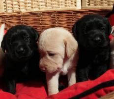 Reinrassige Labradorwelpen schwarz und cremefarben!