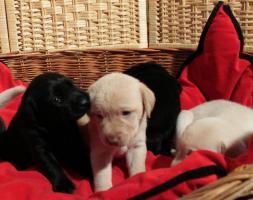 Foto 2 Reinrassige Labradorwelpen schwarz und cremefarben!