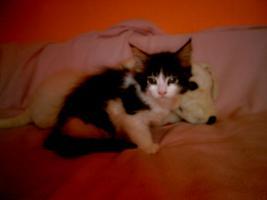 Reinrassige Maine Coon Katze sucht  ein neues zu Hause