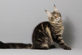 Foto 8 Reinrassige Maine Coon Kitten