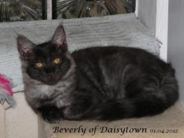 Foto 4 Reinrassige Maine Coon Kitten Bijou und Beverly