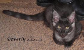 Foto 5 Reinrassige Maine Coon Kitten Bijou und Beverly