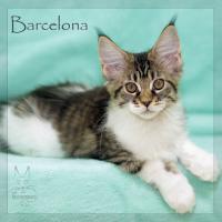 Reinrassige Maine Coon Kitten ''unsere Globetrotter''