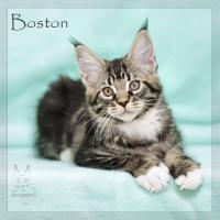 Foto 2 Reinrassige Maine Coon Kitten ''unsere Globetrotter''
