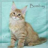 Foto 3 Reinrassige Maine Coon Kitten ''unsere Globetrotter''
