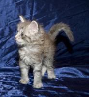 Foto 2 Reinrassige Maine Coon Kitten mit Papieren
