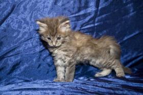 Foto 4 Reinrassige Maine Coon Kitten mit Papieren