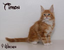 Reinrassige Maine Coon Kitten unser Walt Disney Wurf