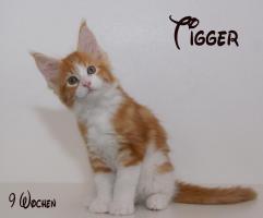 Foto 2 Reinrassige Maine Coon Kitten unser Walt Disney Wurf