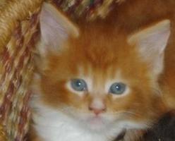 Foto 2 Reinrassige Maine Coon Kitten suchen ein neues zu Hause