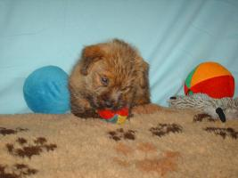 Reinrassige Norfolk Terrier