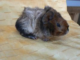 Foto 2 Reinrassige Rex- u. Rosetten-Meerschweinchen-Babies abzugeben!!