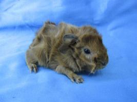 Foto 4 Reinrassige Rex- u. Rosetten-Meerschweinchen-Babies abzugeben!!