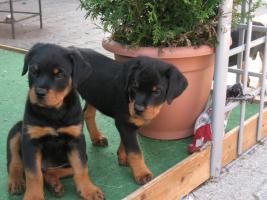 Foto 2 Reinrassige Rottweiler welpen 9 Wo. alt - suchen neues zuhause