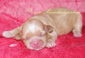 Foto 3 Reinrassige Shih Tzu Welpen suchen neue Hundeeltern