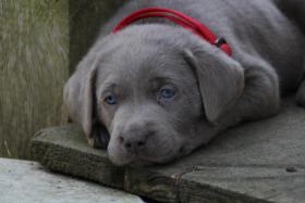 Foto 2 Reinrassige Silver Labrador Welpen!