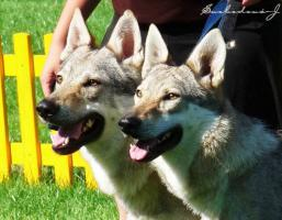 Reinrassige Tschechoslowakischer Wolfhund