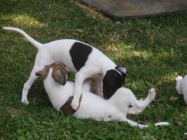 Foto 2 Reinrassige WHIPPET  - kleine englische Windhund