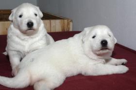 Reinrassige Weisse Schäferhund Welpen