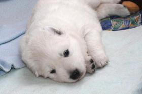 Foto 3 Reinrassige Weisse Schäferhund Welpen