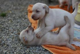 Foto 3 Reinrassige gelbe Labradorwelpen ab sofort abzugeben!