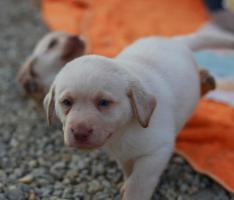 Foto 4 Reinrassige gelbe Labradorwelpen ab sofort abzugeben!