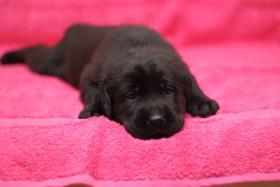 Reinrassige schokobraune und schwarze Labradorwelpen aus Familienzucht!