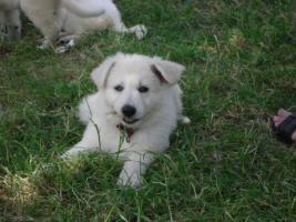 Foto 2 Reinrassige weiße Schäferhund Welpen
