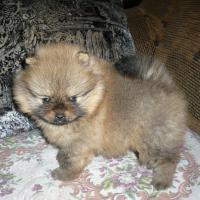 Foto 2 Reinrassige wunderschöne Pomeranian-Welpen aus FCI /VDH