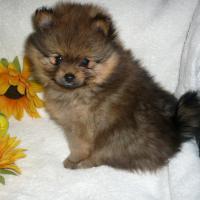Foto 3 Reinrassige wunderschöne Pomeranian-Welpen aus FCI /VDH